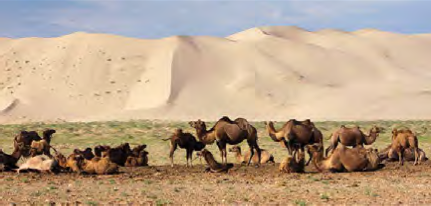 Mongolian countryside camels