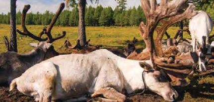 Mongolian Countryside Reindeers